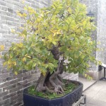 Bonsai at Liang's Garden